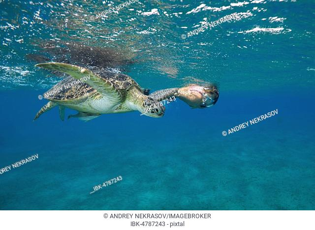 Woman with mask and fins swims with Green Sea Turtle (Chelonia mydas) under surface of the blue water, Red Sea, Abu Dabab, Marsa Alam, Egypt