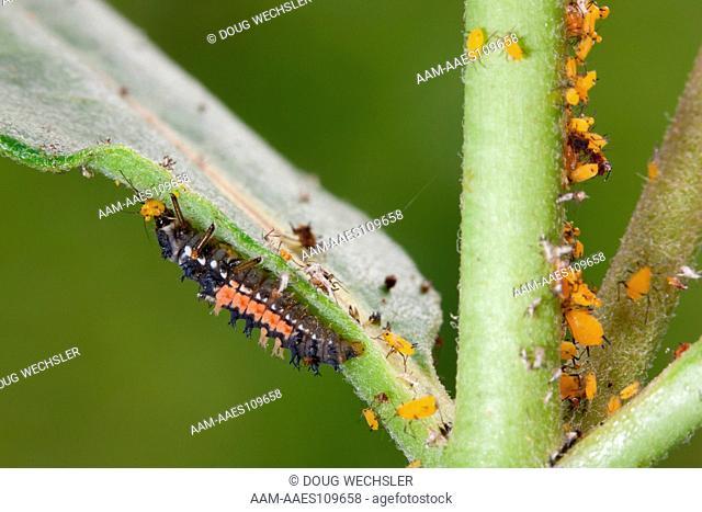 Multicolored Asian Lady Beetle (Harmonia axyridis) Larva eating Oleandor aphids (aphis nerii). On Common Milkweed (Asclepias syriaca)