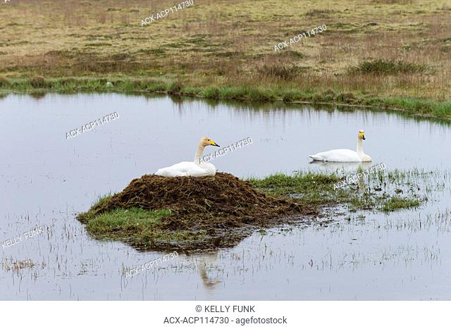 A pair of Whooper Swans (Cygnus), Iceland, Europe