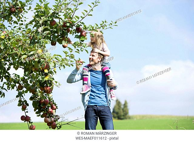 Little girl picking an apple from tree, girl sitting on shoulders of the father
