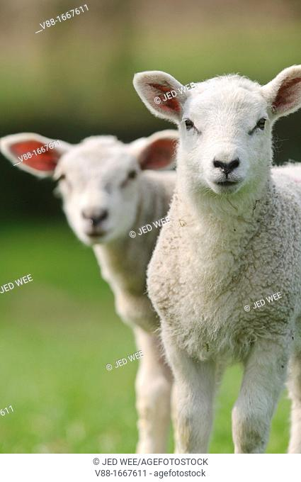 A pair of lambs, domestic sheep, Ovis aries in a field in North Yorkshire, England