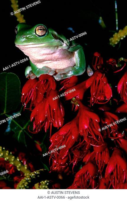 Australian Green Tree Frog, South America