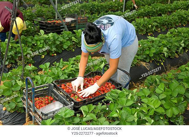 Collecting strawberries, La Redondela, Huelva province, Region of Andalusia, Spain, Europe