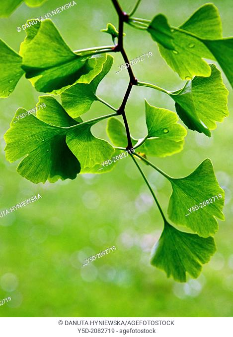 young leaves of Ginkgo Biloba, backlit, park in Geneva, Switzerland, Europe