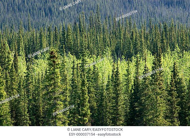 Forest. Alaska, USA