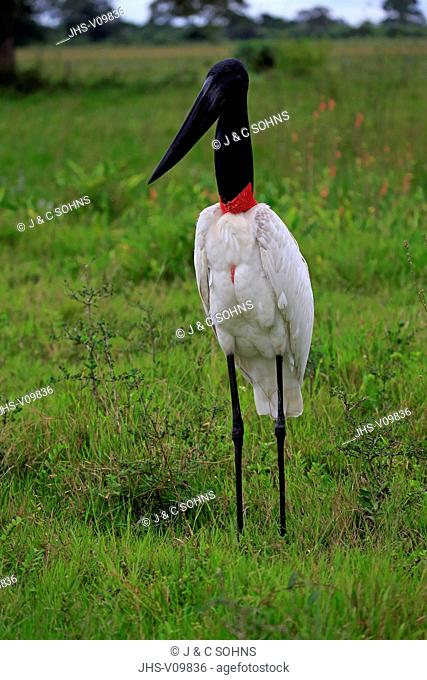 Jabiru, (Jabiru mycteria), adult on meadow, Pantanal, Mato Grosso, Brazil, South America