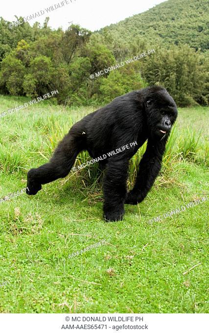 Mountain Gorillas (Gorilla beringei beringei) in the Volcanoes NP, Rwanda, Blackback charging towards photographers