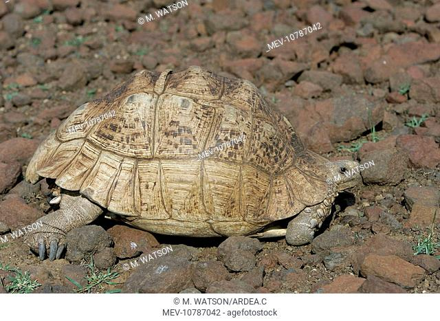 Leopard And Tortoise Stock Photos And Images Age Fotostock