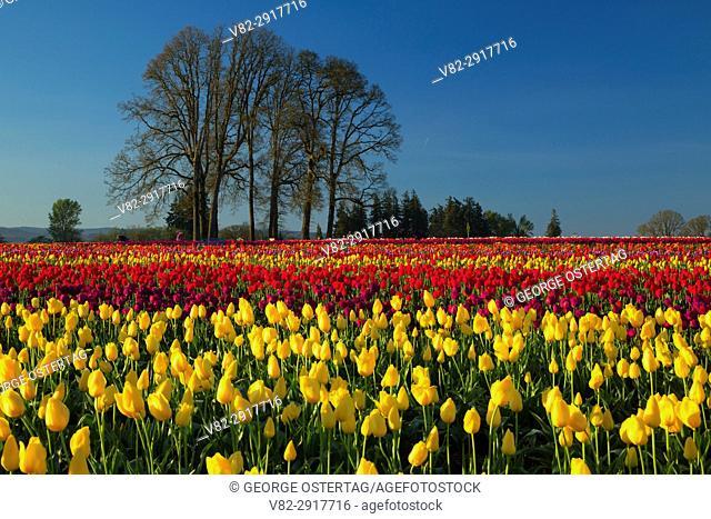 Tulip field with oaks, Wooden Shoe Bulb Co. , Clackamas County, Oregon
