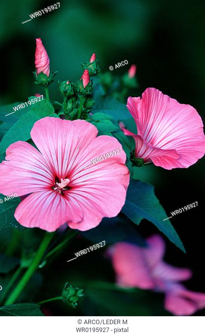 Tree, Mallow, Switzerland, Lavatera, trimestris
