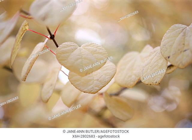 Cercidiphyllum Japonicum, Katsura tree in Autumn