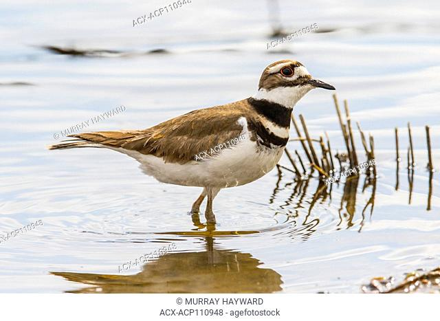 Killdeer (Charadrius vociferus) On the shoreline at Weed Lake, Alberta, Canada