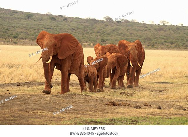 African elephant (Loxodonta africana), herd of elephants in the savannah, Kenya, Tsavo East National Park