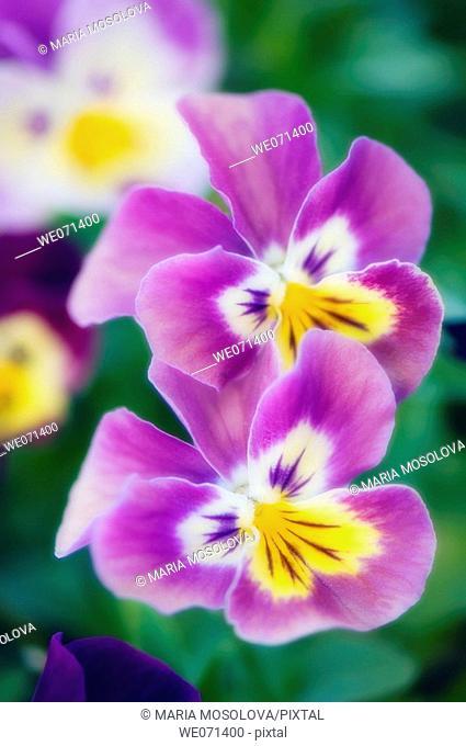 Two Pansies. Viola x wittrockiana. May 2007, Maryland, USA