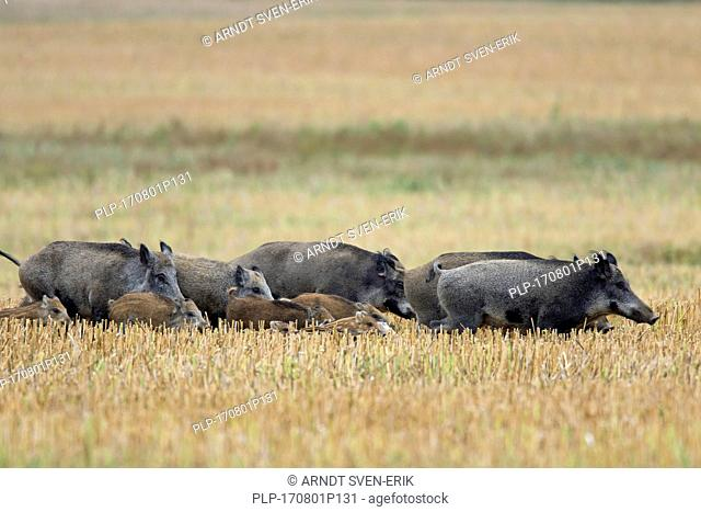 Wild boars (Sus scrofa) sounder with piglets crossing a stubblefield in summer