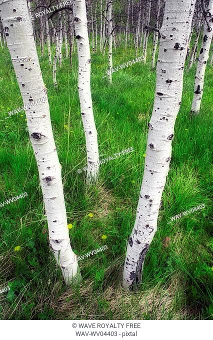 Aspen forest Populus tremuloides near Maycroft, Alberta, Canada