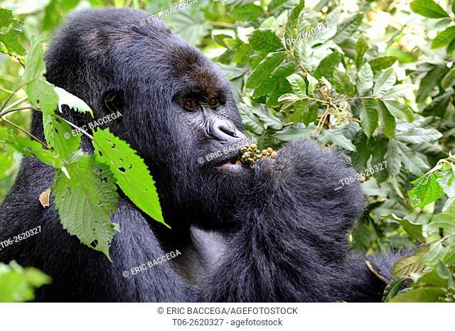 Portrait of male silverback Mountain gorilla (Gorilla beringei beringei) feeding on fruits, Virunga National Park, Democratic Republic of Congo, Africa