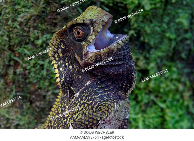 Helemted Iguana, Helmeted Basilsk; Corytophanes cristatus; on tree trunk in rain forest; sit and wait predator; threat display; Panama