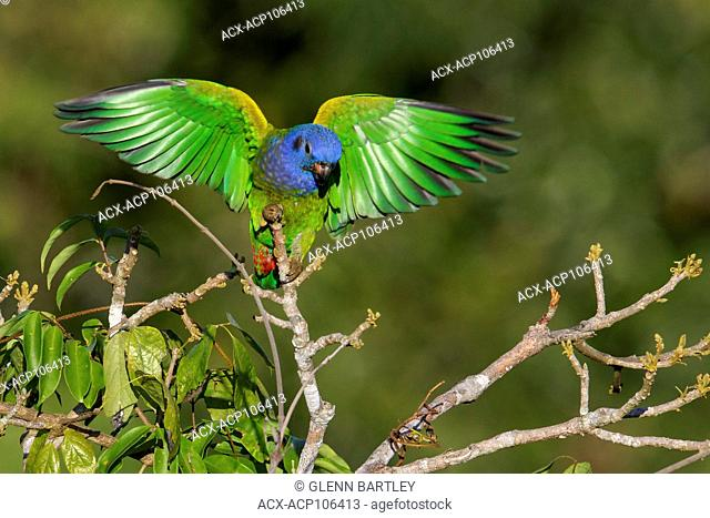Blue-headed Parrot (Pionus menstruus) perched on a branch in the Amazon of Brazil