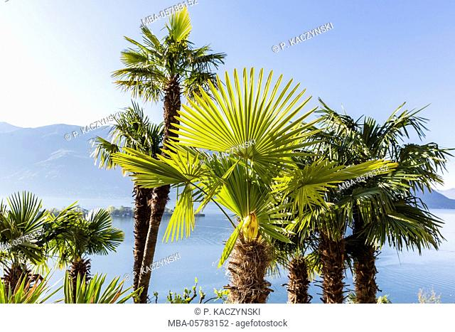 Chinese windmill palm (Trachycarpus fortunei) at the Lago Maggiore with view on the Isole di Brissago, Ronco sopra Ascona, Ticino, Switzerland, Alps