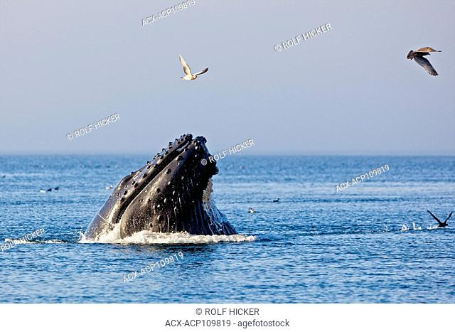 Humpback whale feeding in Queen Charlotte Strait, British Columbia, Canada