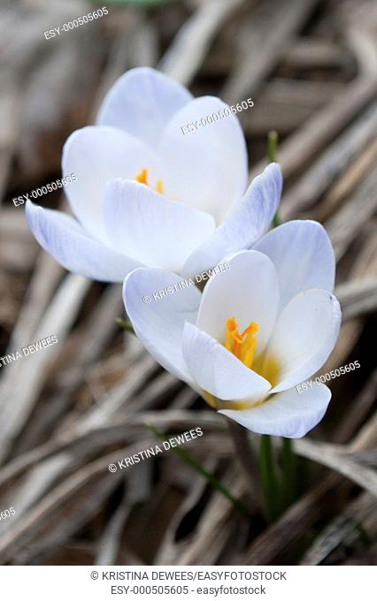 A duet of white snow crocus brushed with violet edges on a spring morning