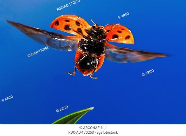 Multicolored Asian Lady Beetle, Harmonia axyridis, Multicolored Asian Lady Bird