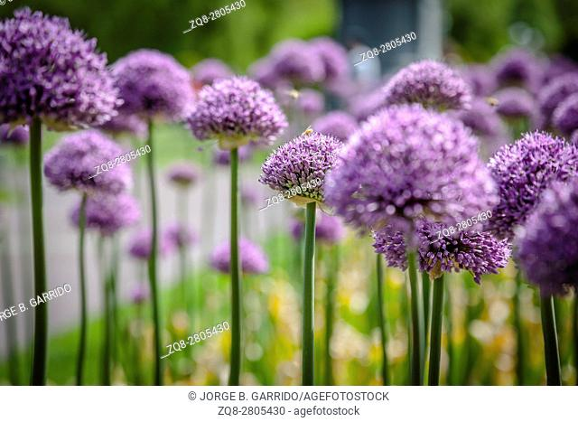 Purple flowers in Boston Commons
