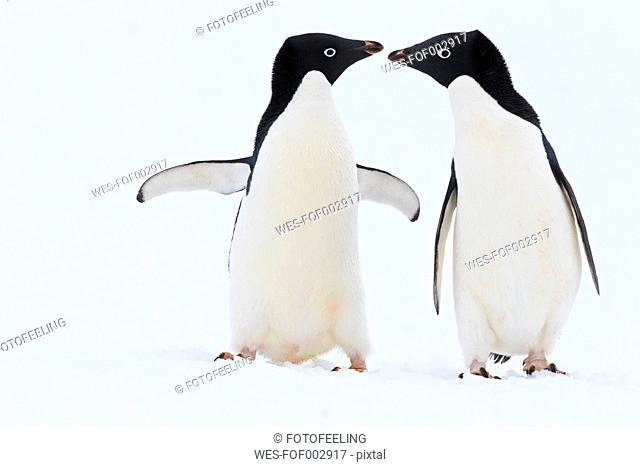 South Atlantic Ocean, Antarctica, Antarctic Peninsula, Lemaire Channel, Adelie penguins on yalour islands
