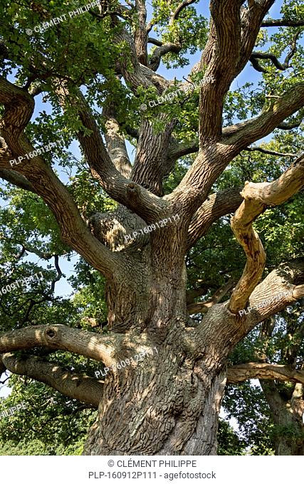 Centuries old English oak / pedunculate oak (Quercus robur) in late summer / autumn