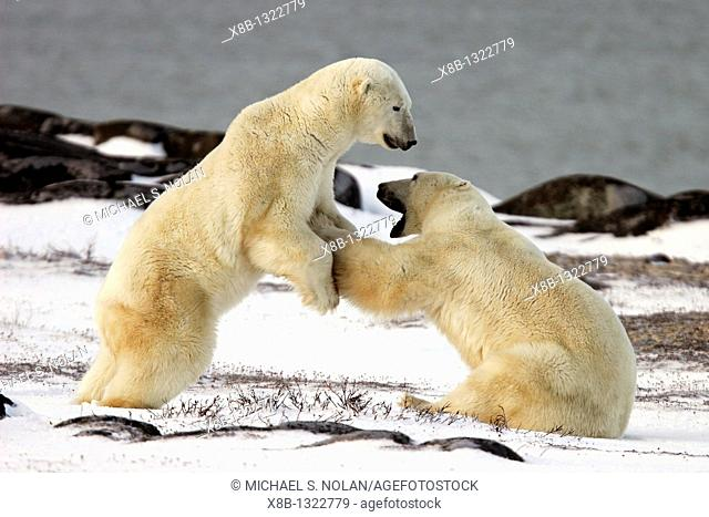 Polar Bear Ursus maritimus near Churchill, Manitoba, Canada