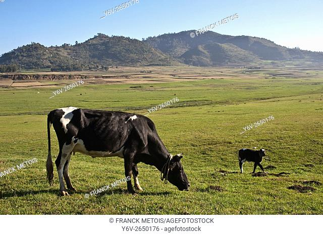 Cow and calf grazing in an open field. At Korem ( Tigray state, Ethiopia). Korem and its surroundings became famous during the 1984-1985 famine as the worst hit...