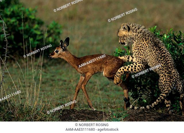 Young Cheetahs (Acinonyx jubatus) playing with Impala Prey. Masai Mara, Kenya