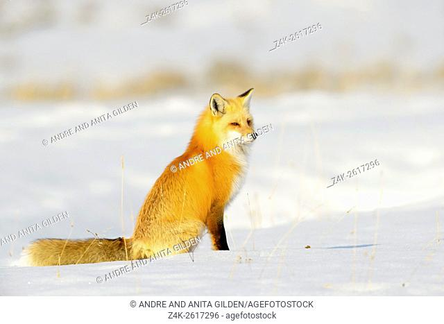 American Red Fox (Vulpes vulpes fulva) adult, sitting in snow, Yellowstone national park, Wyoming, USA