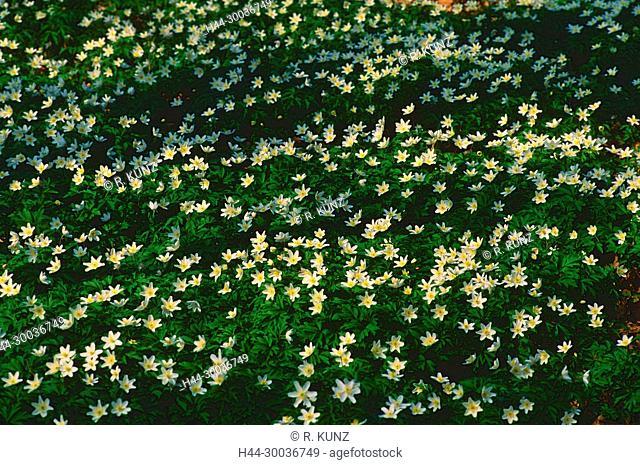 Wood anemone, Anemone nemorosa, Ranunculaceae, flower, blossom, cluster, plant, Canton of Zurich, Switzerland