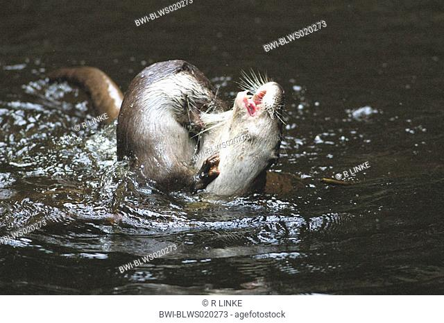 European river otter, European Otter, Eurasian Otter Lutra lutra, two individuals fighting in water