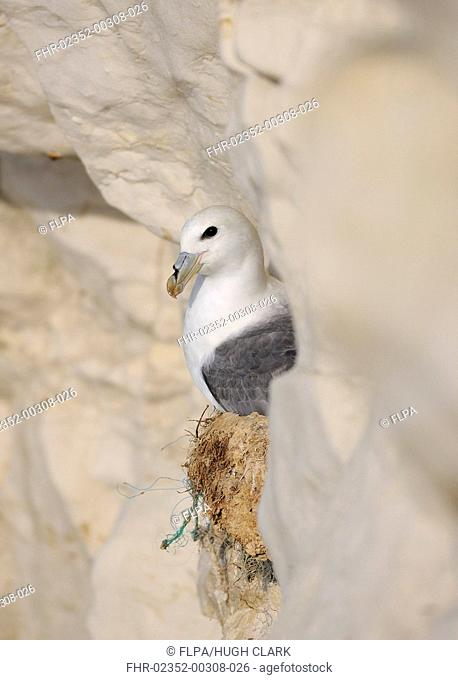 Northern Fulmar Fulmaris glacialis adult, sitting on eggs in nest on cliff face, Seaford, East Sussex, England