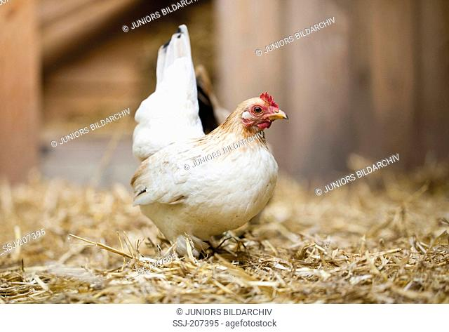 Malaysian Serama. Hen in straw. Germany