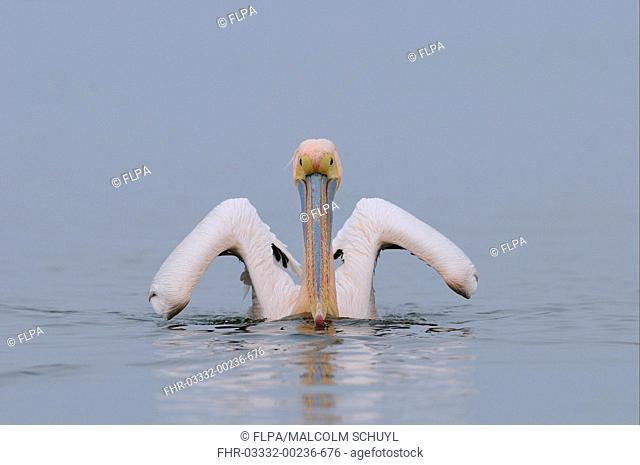 Great White Pelican Pelecanus onocrotalus adult, in breeding plumage, swimming, Lake Kerkini, Macedonia, Greece