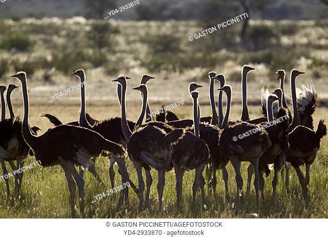 Common ostrich (Struthio camelus), Kgalagadi Transfrontier Park, Kalahari desert, South Africa