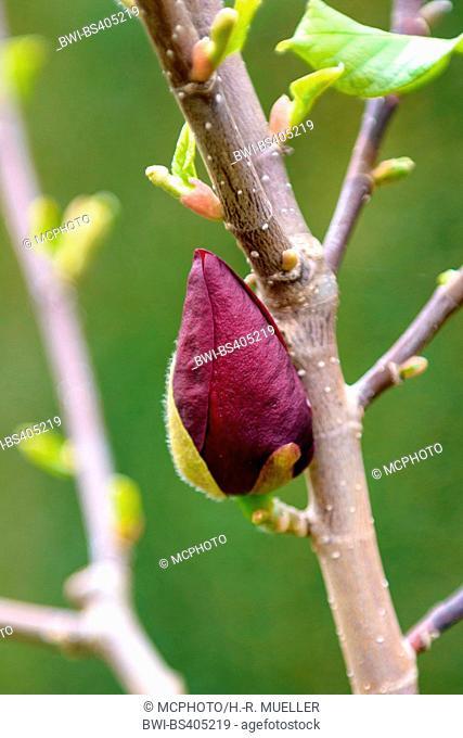 saucer magnolia (Magnolia soulangiana 'Genie', Magnolia soulangiana Genie), bud of cultivar Genie, Germany