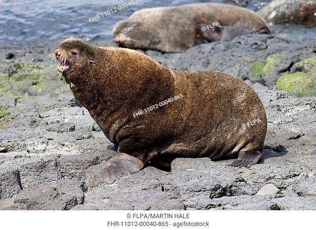 Northern Fur Seal (Callorhinus ursinus) adult male, calling on rocks, St. Paul Island, Pribilof Islands, Alaska, U.S.A., June