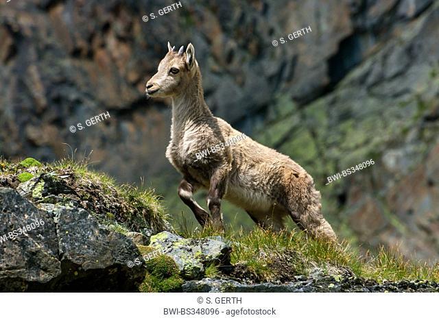 Alpine ibex (Capra ibex, Capra ibex ibex), yeanling standing on a rock , Switzerland, Valais, Saas Fee
