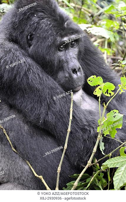 Uganda, Bwindi impenetrable forest, Mountain Gorillas