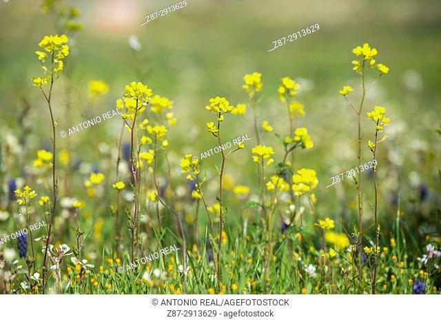 Wildflowers. Almansa. Albacete. Spain