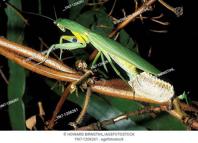 Praying mantis Mantus religiosa making her egg sac or ootheca
