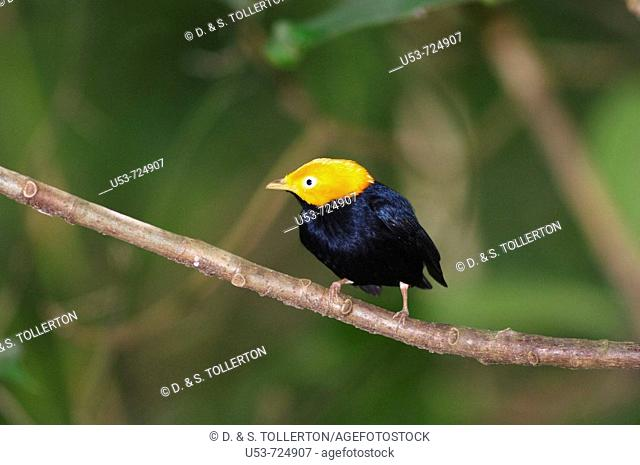 Golden-headed Manakin, Pipra erythrocephala, male, front view