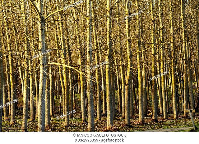 poplar grove in winter near Lauzun, Lot-et-Garonne Department, New Aquitaine, France