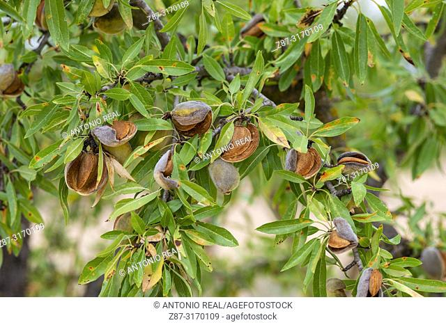 Close up of almonds in almond tree. Almansa, Albacete province, Spain
