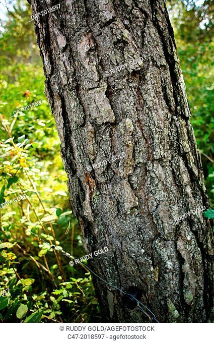 Catalunya, Spain, Lleida province, near Sant Llorenç de Morunys all municipalities on the Solsones area. Tree bark